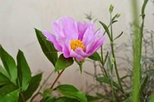 绽放牡丹花朵高清图
