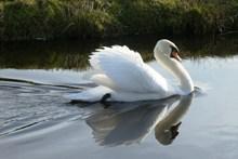 白羽毛天鹅高清图片