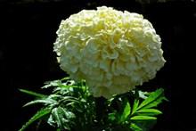 春天白色万寿菊图片大全