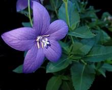 紫色风铃花朵图片大全