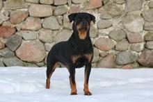 黑色罗威狗高清图