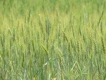 绿色小麦壁纸图片