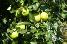 苹果树绿苹果图片下载