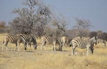 非洲斑马群精美图片