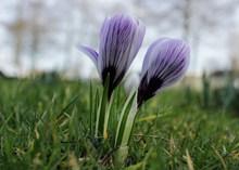 紫色藏红花朵摄影图片大全