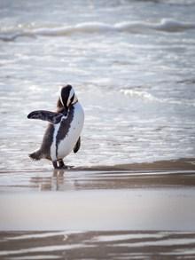 非洲企鹅精美图片