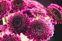 墨红秋菊精美图片