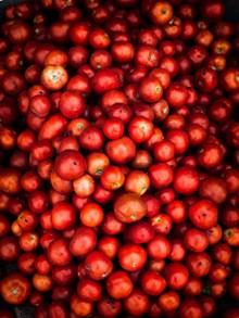 西红柿丰收图片下载
