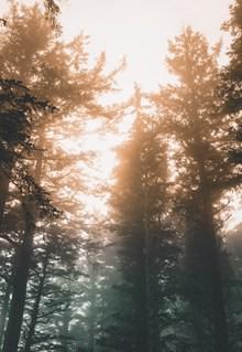 参天大树晨雾风景高清图片