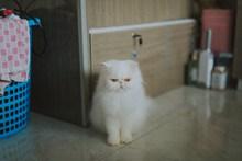 白色长毛波斯猫图片素材