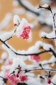 雪中红梅 雪中红梅大全大图高清图