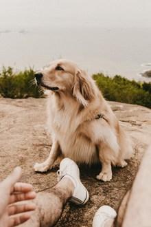 白色英系金毛犬 白色英系金毛犬大全精美图片