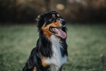 纯种黑色澳牧犬图片