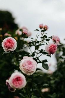 粉色茶花品种图片