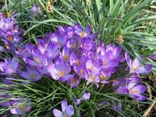 盛开紫色番红花高清图