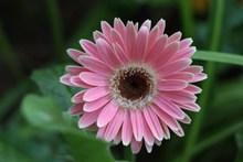 粉色非洲菊花朵高清图片