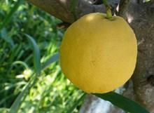 枝头黄柠檬图片素材