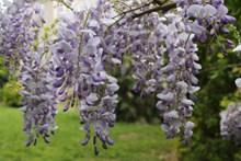 紫藤花开花图片素材