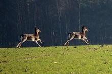 休耕鹿奔跑精美图片