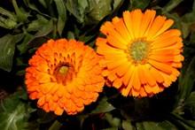 橙色花朵绽放图片大全