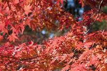 红枫叶嫩叶图片大全