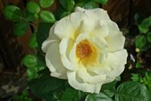 白玫瑰花朵开花图片素材