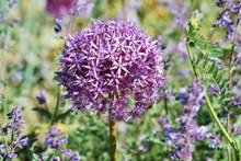 紫色大葱花高清图片