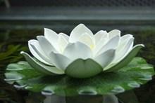 白色荷花开花图片