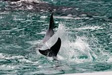 大海海豚戏水图片素材
