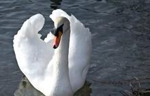 湖面雪白天鹅图片