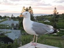 一只漂亮海鸥图片