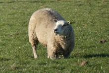 一只大绵羊高清图