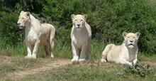 白色狮子精美图片
