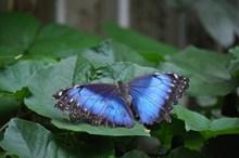 绿叶上蓝蝴蝶精美图片