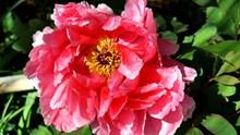 灿烂牡丹花朵高清图片