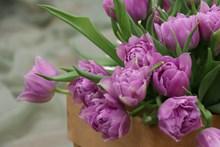 淡紫色郁金香花图片