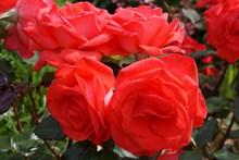红玫瑰花朵观赏高清图
