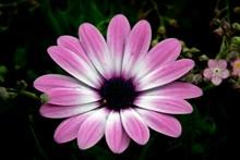 非洲菊盛开精美图片