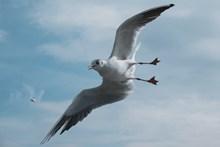 展翅高飞的海鸥图片素材