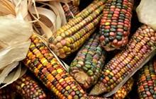 五彩玉米丰收图片下载