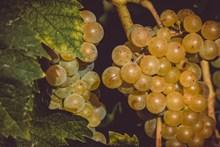 葡萄藤葡萄水果图片