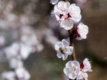 桃花枝花朵图片大全
