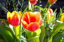 美丽郁金香鲜花图片
