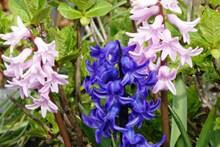 风信子花朵绽放精美图片