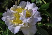 白色茶花盛开高清图片