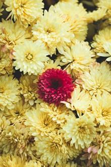 盛开的黄色菊花图片