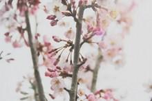 粉色的桃花图片大全