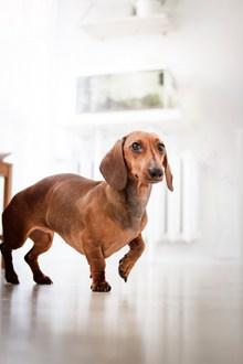 棕色腊肠犬图片素材