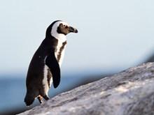大企鹅图片素材
