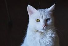 布偶猫异瞳图片素材